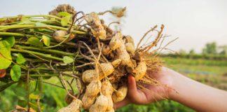 arašidy a chudnutie